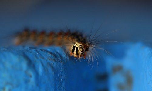 Lagarta peluda, la enemiga de los alcornocales